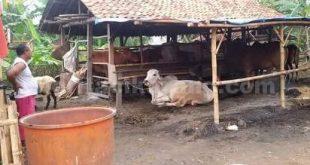 hewan kurban sasmita